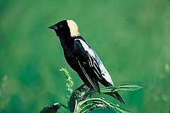 Bobolink sitting in field