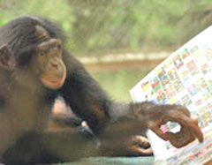 A bonobo from the Great Ape Trust