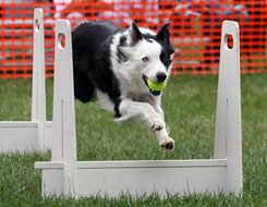 Dog competing in flyball