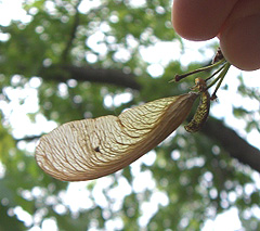 Maple seeds like this one (also called whirligigs helicopters) are abundant this year.