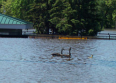 Geese swim in floodwaters in Waterloo.