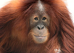 Rocky the orangutan.