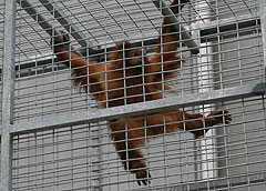Rocky the orangutan checks out his new digs at the Great Ape Trust.