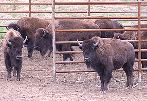 Bison in holding pen at Broken Kettle Grassland Preserve.