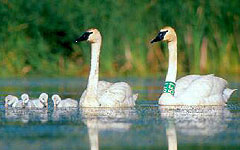 Trumpeter swans (DNR photo)