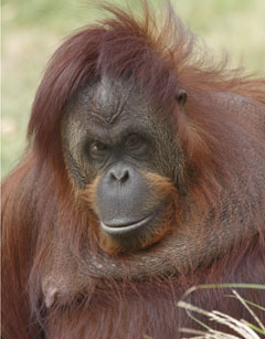 Bonnie the orangutan.