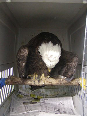 Eagle in cage at SOAR.
