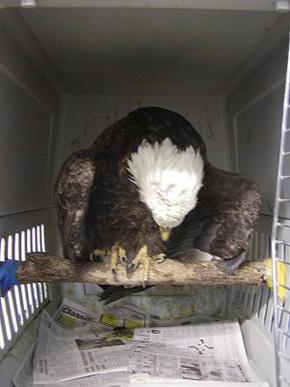 Eagle in cage at SOAR.