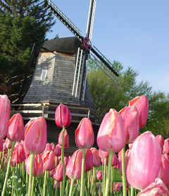 Tulips and windmill in Pella.