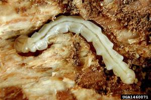 Emerald ash borer larva