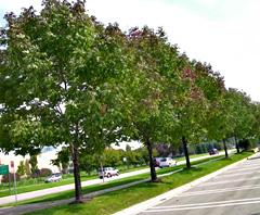 Ash trees.