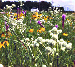 Prairie plants in an Iowa roadside.