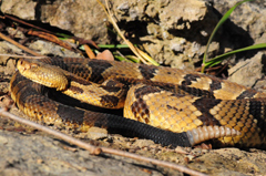 Timber rattler in Clayton County