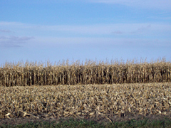 Partially harvested corn field in northwest Iowa.