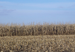 The lastest crop report shows 61% of the corn has been harvested.