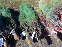 Iowa Christmas trees wrapped and ready for shipment.