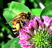 A honeybee on red clover.