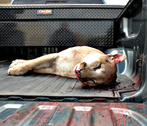 Mountain lion shot in the back yard of a Des Moines home. (Photo courtesy of the DNR)