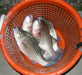 Striped bass grown at former hog farm in Webster City.