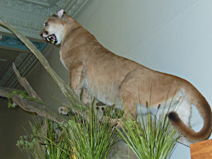 This mountain lion was shot in a Des Moines neighborhood in October 2012.  (click to make photo larger)