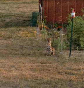 This photo of a bobcat was taken by a resident of Polk County.