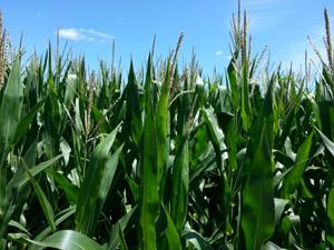 Corn---tassles
