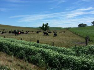 Cattle in a field near Audubon.
