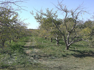 An apple orchard near Lacona.