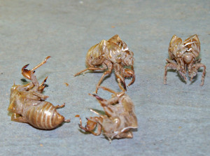 The shed shells from Cicadas can be found on trees.