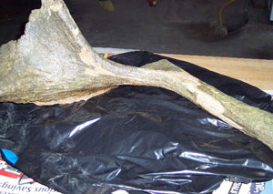 Stag-moose antler found in Ames. (ISU photo)