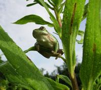 Gray tree frog.
