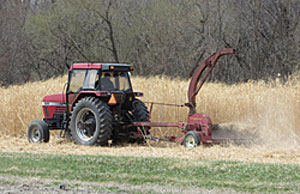 Harvesting miscanthus.