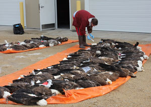 Researchers found 168 dead bald eagles in the Upper Midwest Refuge area for a lead exposure study.