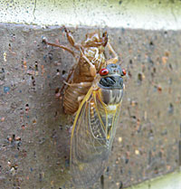 Cicada emerging from its nymph shell.