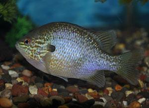 Longear sunfish.