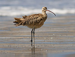 Long billed curlew.