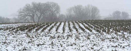 Snow on corn crop