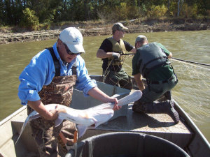 Adult paddlefish being checked by the DNR.