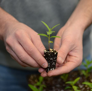 ISU is planting thousands of milkweed seedlings to help Monarch butterfilies.