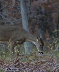 Single-Deer