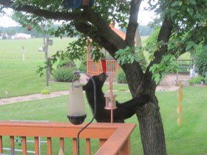 Bear in the backyard of Diane Steffen's home in Osage.