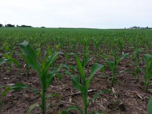 corn-near-anita