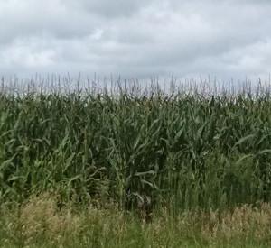 ne-iowa-corn2