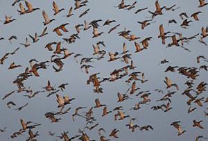 Duck-flock