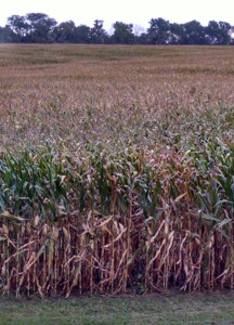 A corn field in eastern Iowa.