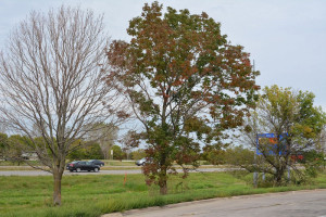 Three of the ash trees at the I-380 rest stop.