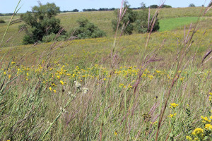 Reconstructed prairie on the Speiker Farm that's now part of the Whiterock Conservancy.