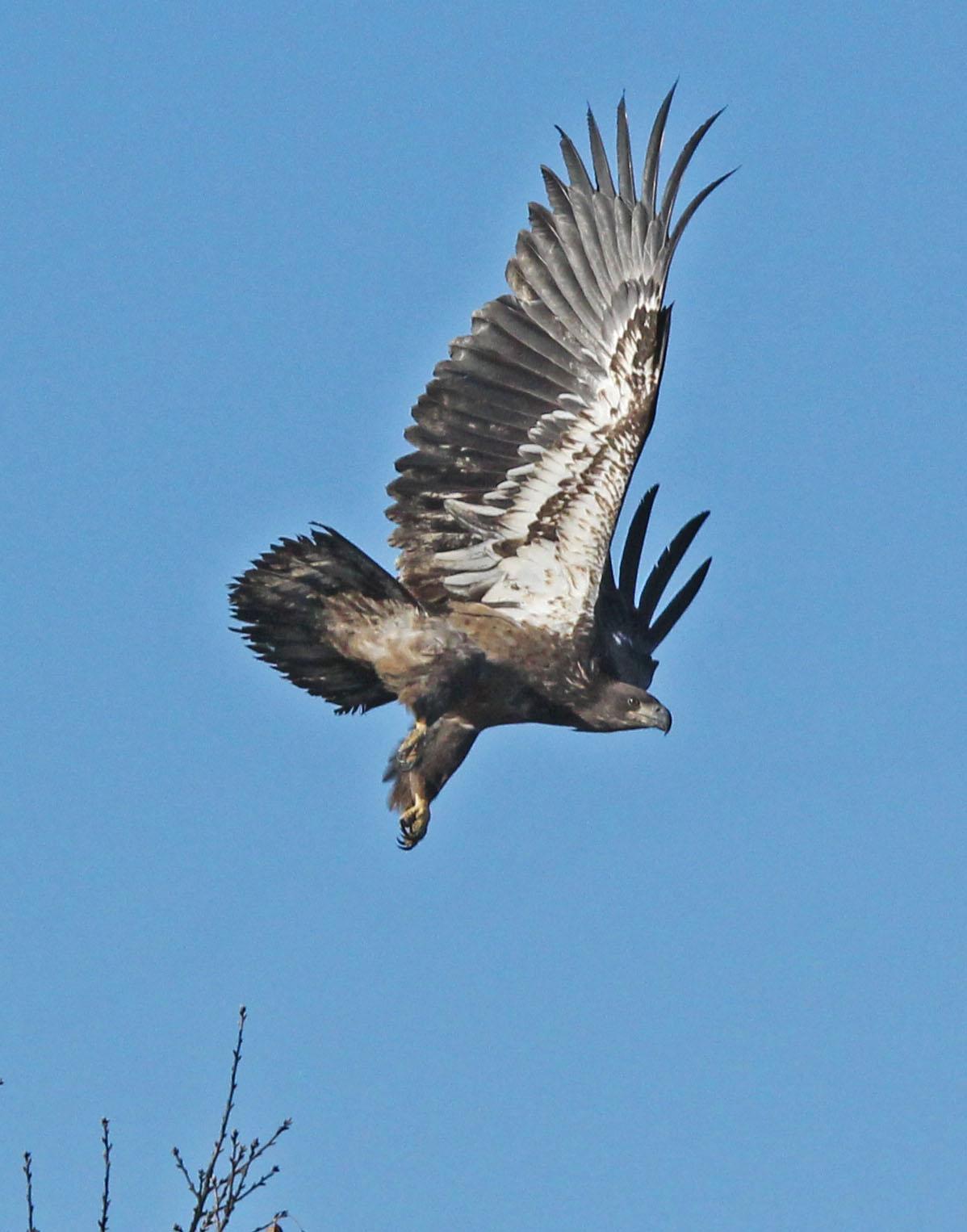 Juvenile eagle 1