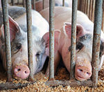 Researchers try to find origins of PED virus in hogs