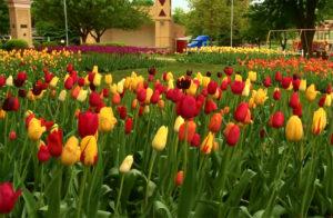 Orange City Tulip Festival website photo.